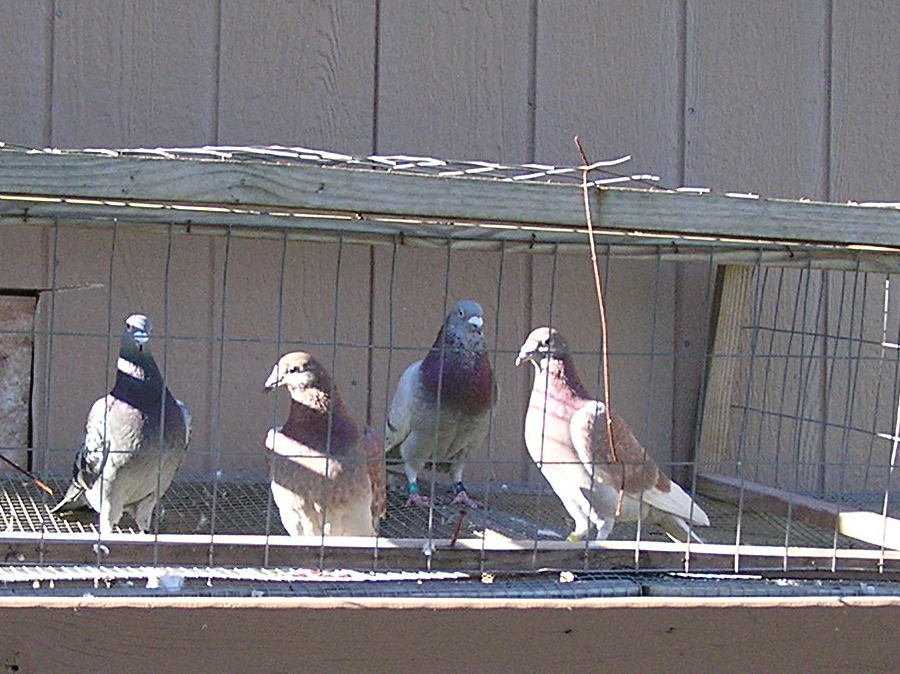 three pigeon race winners