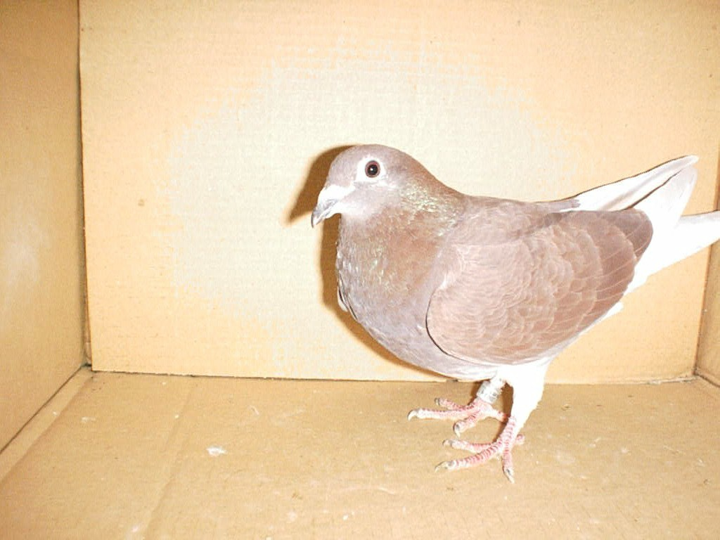 SION RACING PIGEON