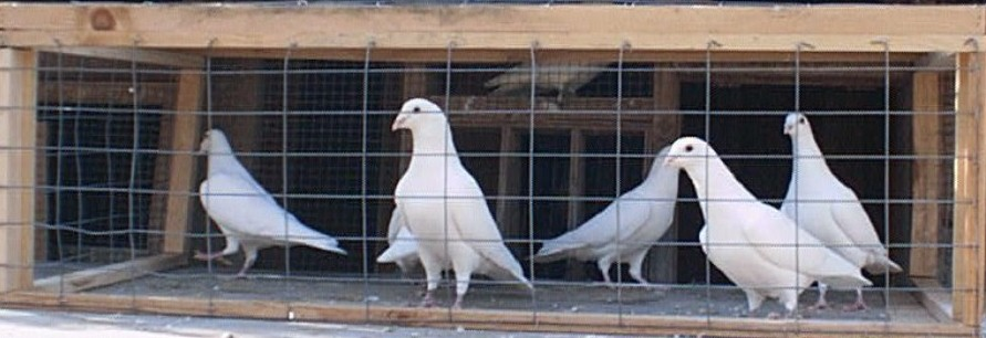 white doves for sale (pigeons)